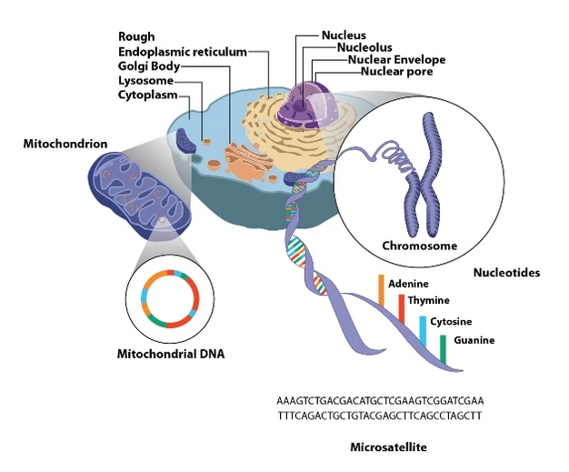 Mitochondrial Mtdna Nuclear Dna The Molecular Analysis Of